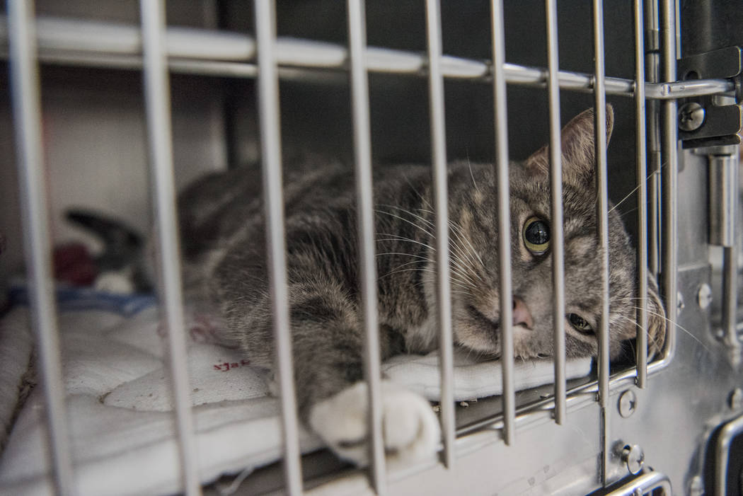 "A cat available for adoption at Henderson Animal Care and Control Facility during a ""Clear the Shelters"" event on Saturday, Aug. 19. 2017, in Henderson. At the event, animals wer ..."