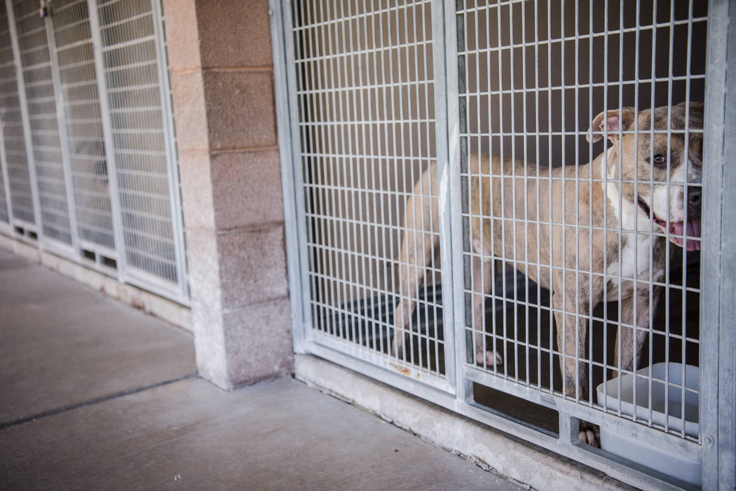 "A dog available for adoption at Henderson Animal Care and Control Facility during a ""Clear the Shelters"" event on Saturday, Aug. 19. 2017, in Henderson. At the event, animals wer ..."