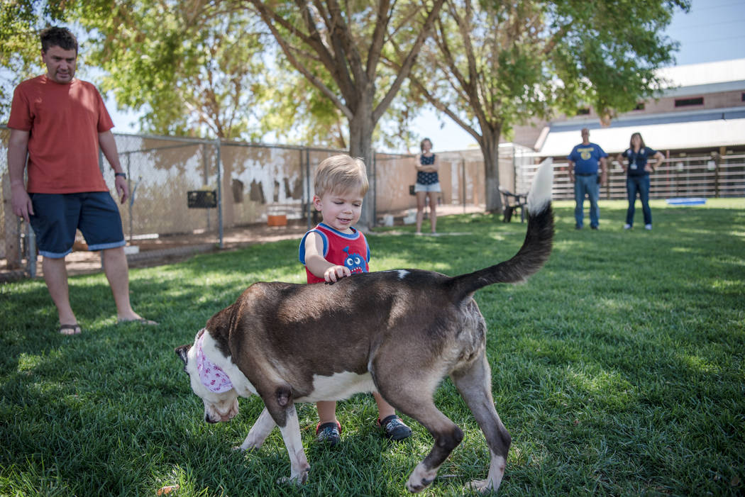"Maxwell Reetz, 2, plays with a pit bull named Jackie at Henderson Animal Care and Control Facility during a ""Clear the Shelters"" event on Saturday, Aug. 19. 2017, in Henderson. A ..."