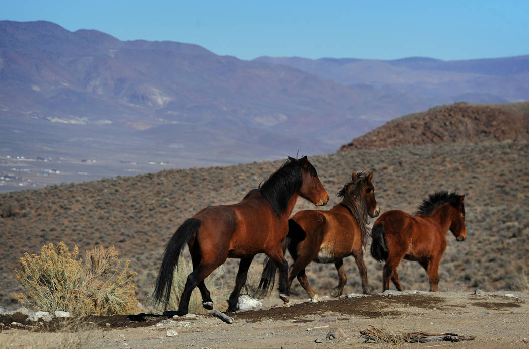 Wild horses are seen during a BLM tour in the Pine Nut Mountains just outside of Dayton, Nev., in 2015. (Jason Bean/The Reno Gazette-Journal via AP, File)
