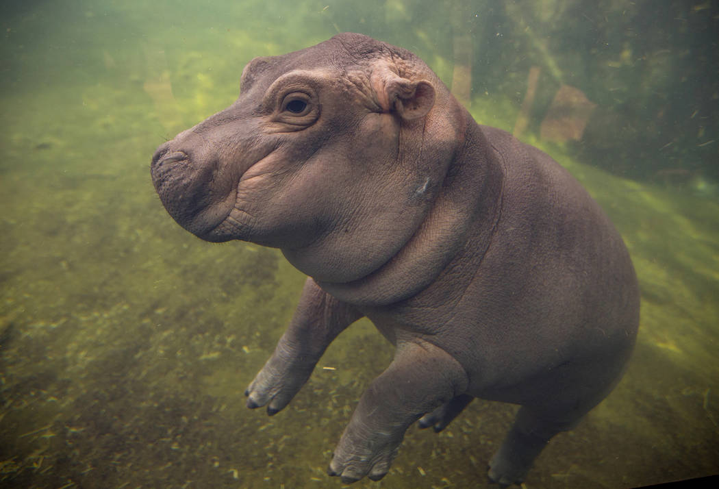 Fiona makes her debut to the media in Hippo Cove at the Cincinnati Zoo and Botanical Garden, in Cincinnati on May 31, 2017. (Liz Dufour/The Cincinnati Enquirer via AP, File)