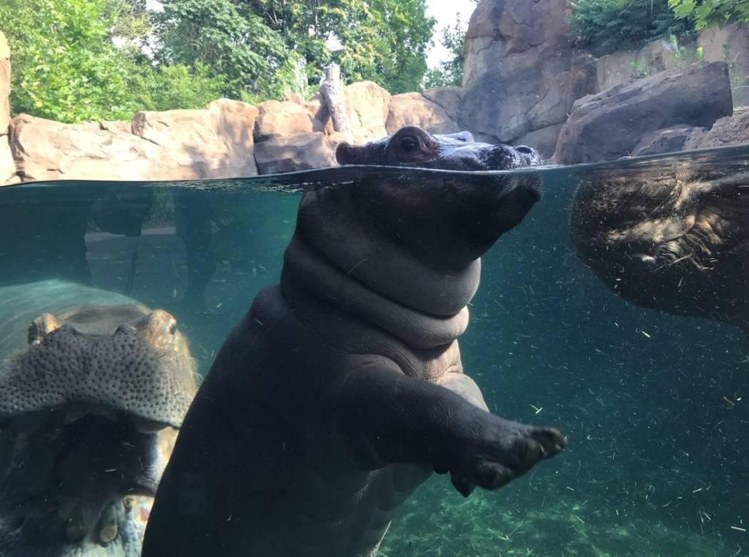 Fiona at the Cincinnati Zoo & Botanical Garden. (Facebook/Cincinnati Zoo & Botanical Garden)