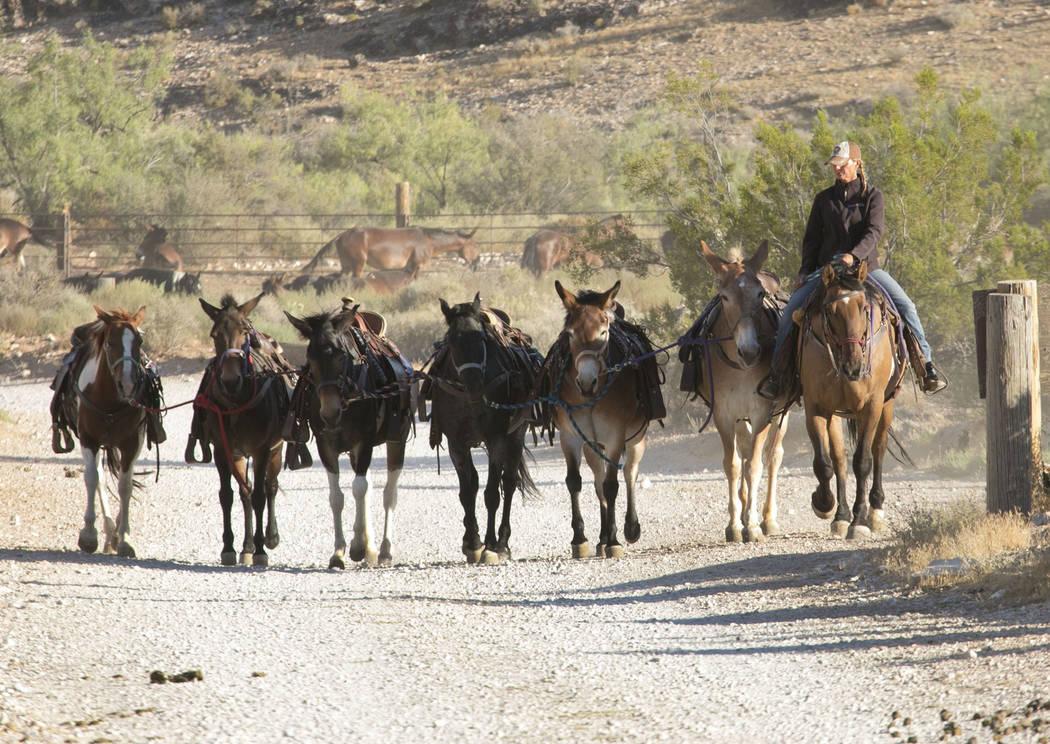 Mary Rose Santoro pulls up string of horses for a two-hour horseback riding tour of Red Rock Canyon on Monday, Aug. 28, 2017, in Las Vegas. Bizuayehu Tesfaye Las Vegas Review-Journal @bizutesfaye