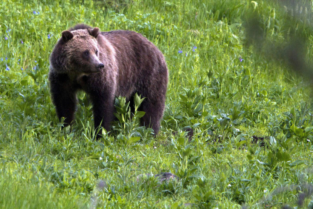 A grizzly bear roams July 6, 2011, near Beaver Lake in Yellowstone National Park, Wyoming. (Jim Urquhart/File, AP)