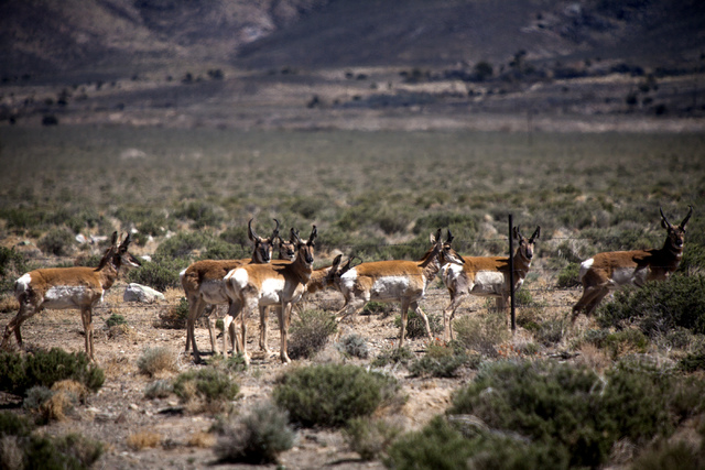A herd on Pronghorn Antelope as seen Thursday, May 1, 2014 beside State Route 376 near the Belmont, Nev. turnoff. Over a dozen antelope grazed near the highway. (Jeff Scheid/Las Vegas Review-Journal)