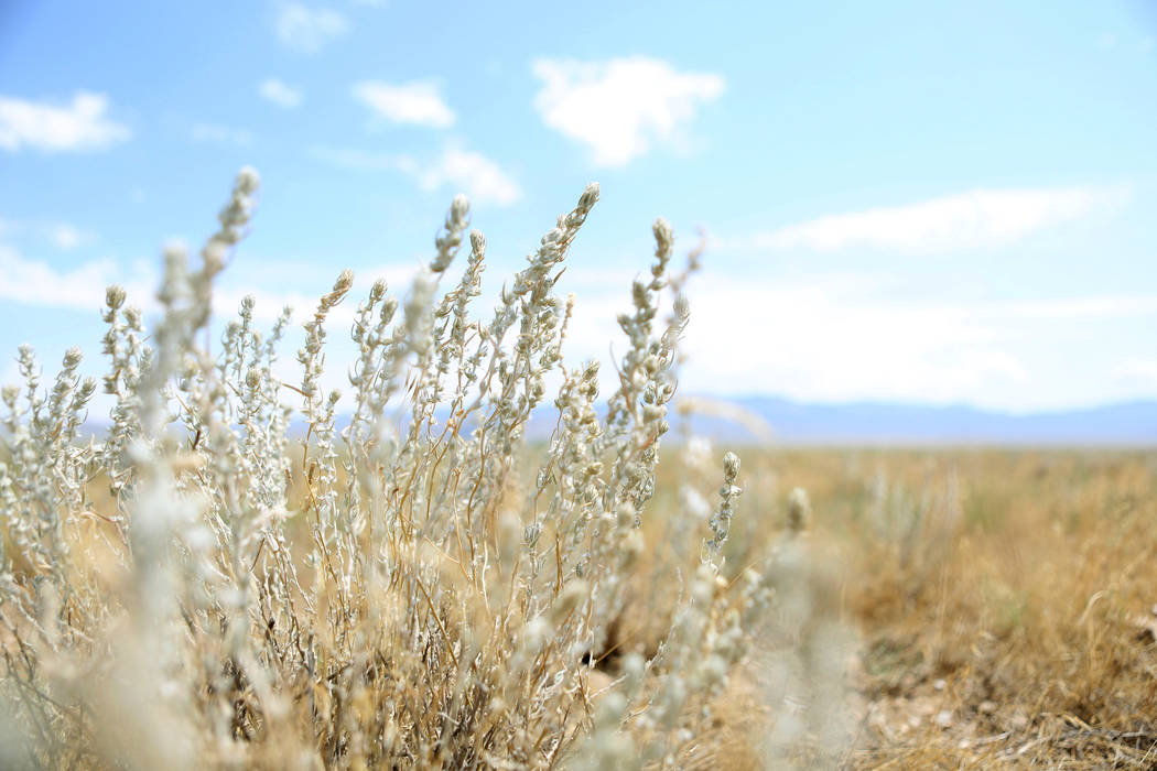 The plant winter fat grows on the Great Basin Ranch in   Dry Lake Valley, Monday, Aug. 7, 2017. The plant that grows along the valley has high protein that cattle and sheep graze on. Elizabeth Bru ...