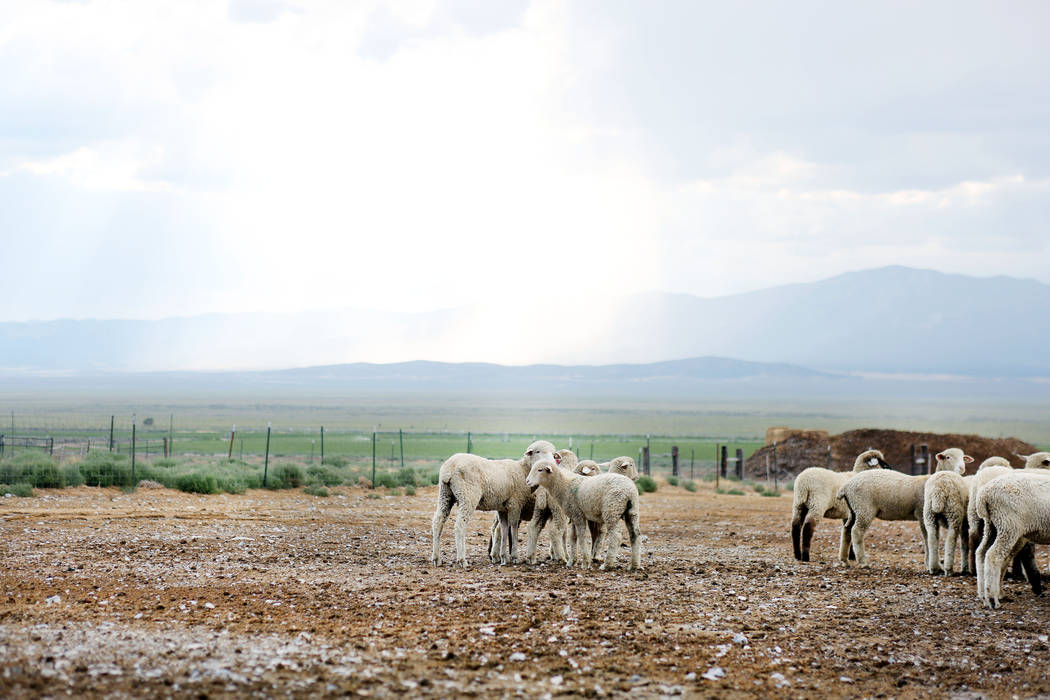 Sheep on the Great Basin Ranch in Spring Valley, Monday, Aug. 7, 2017. Elizabeth Brumley Las Vegas Review-Journal
