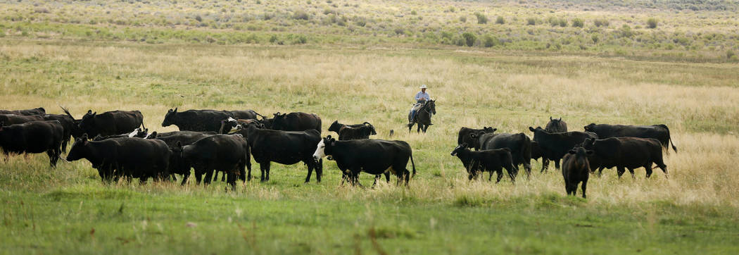Clint Smith herds cattle on the Great Basin Ranch in Spring Valley, Tuesday, Aug. 8, 2017. Elizabeth Brumley Las Vegas Review-Journal
