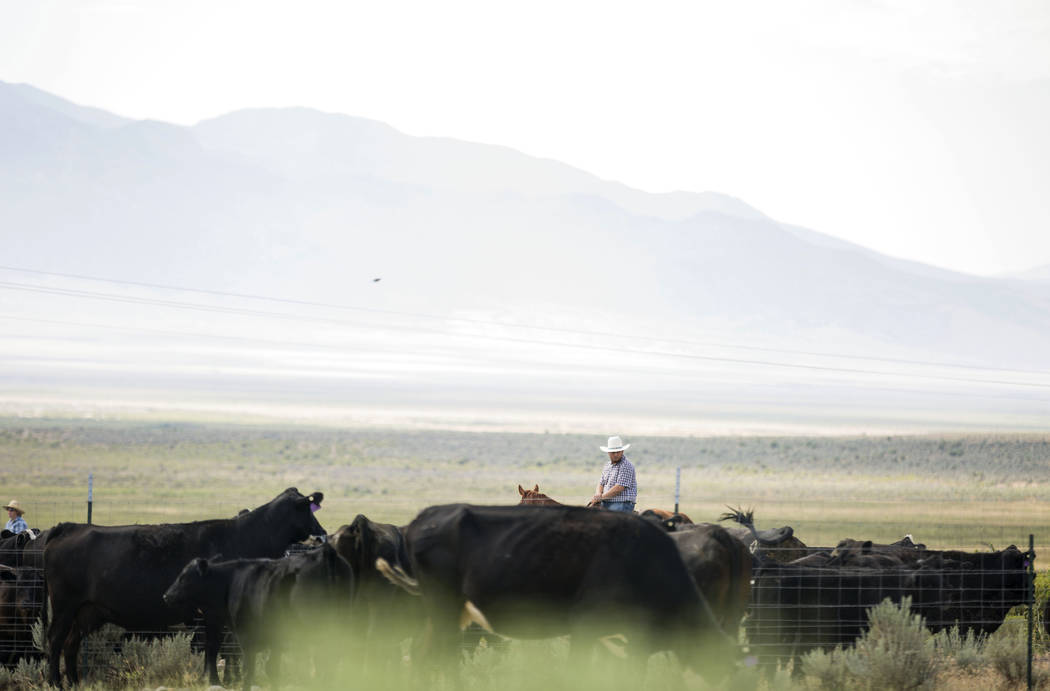 Gabe Lopez corals cattle on Great Basin Ranch in Spring Valley, Tuesday, Aug. 8, 2017. Elizabeth Brumley Las Vegas Review-Journal