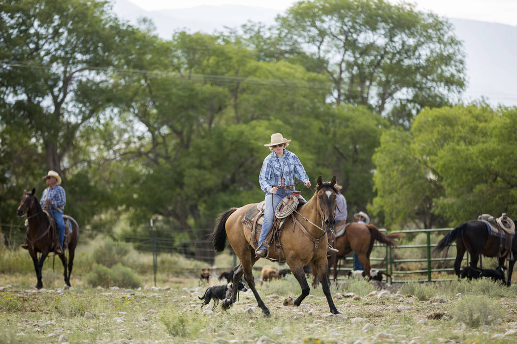 Bootsie Jessop corals Cattle on Great Basin Ranch in Spring Valley, Tuesday, Aug. 8, 2017. Elizabeth Brumley Las Vegas Review-Journal