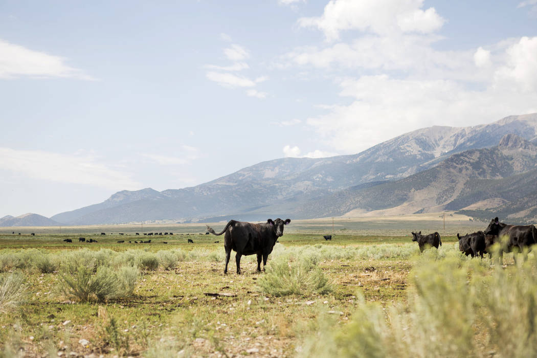 Cattle on Great Basin Ranch in Spring Valley, Tuesday, Aug. 8, 2017. Elizabeth Brumley Las Vegas Review-Journal