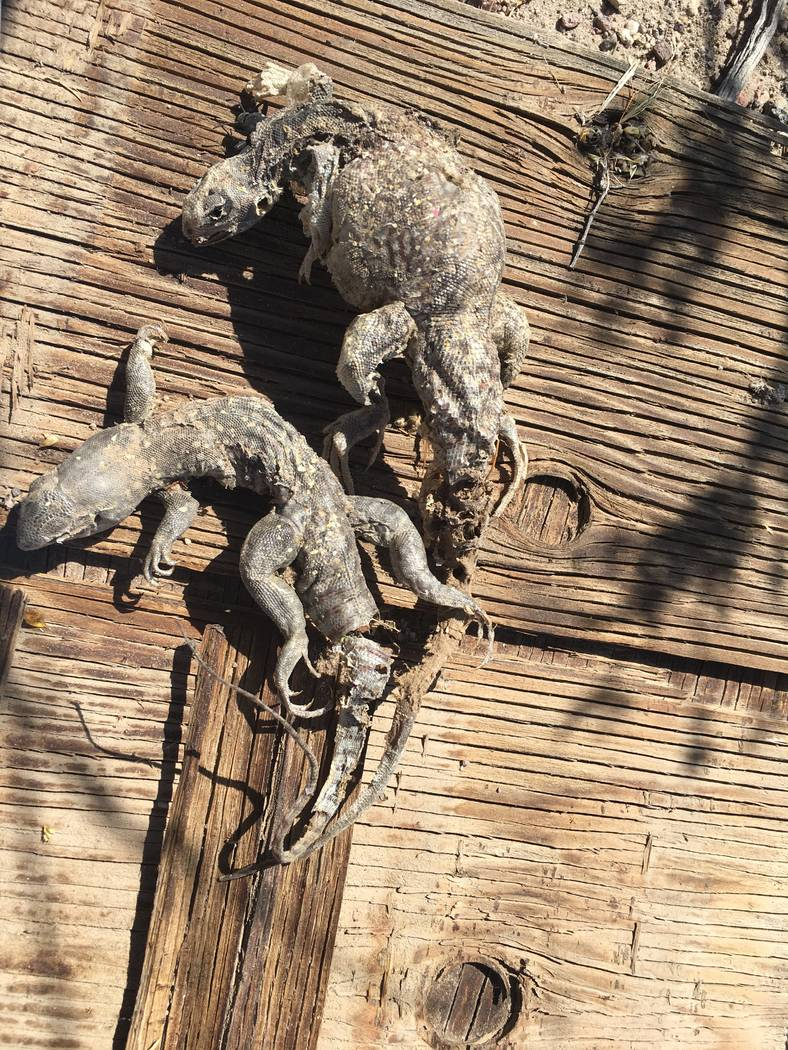 Two desert iguanas.  Nevada Department of Wildlife officials are considering banning or limiting commercial reptile collecting in the state. Nevada currently has unlimited commercial reptile colle ...