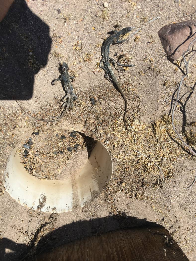 Two desert species.  Nevada Department of Wildlife officials are considering banning or limiting commercial reptile collecting in the state. Nevada currently has unlimited commercial reptile colle ...