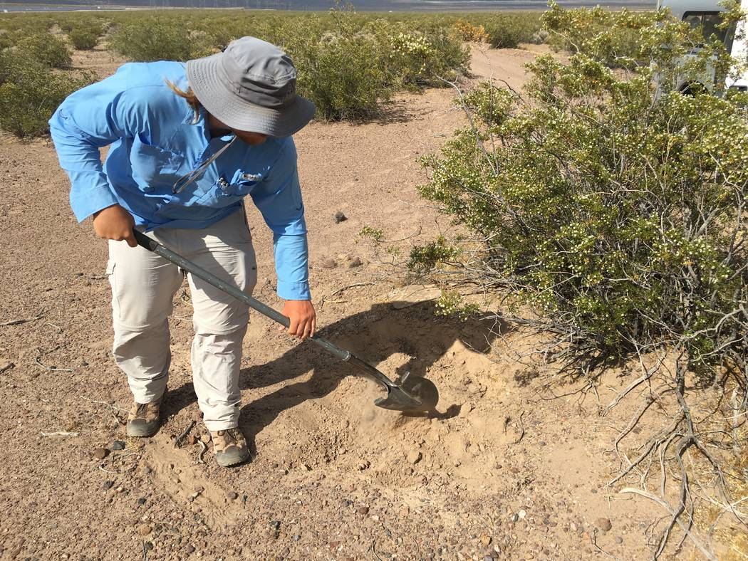 A volunteer fills a pitfall in Eldorado Valley, Nev. Nevada Department of Wildlife officials  are considering banning or limiting commercial reptile collecting in the state. Nevada currently has u ...