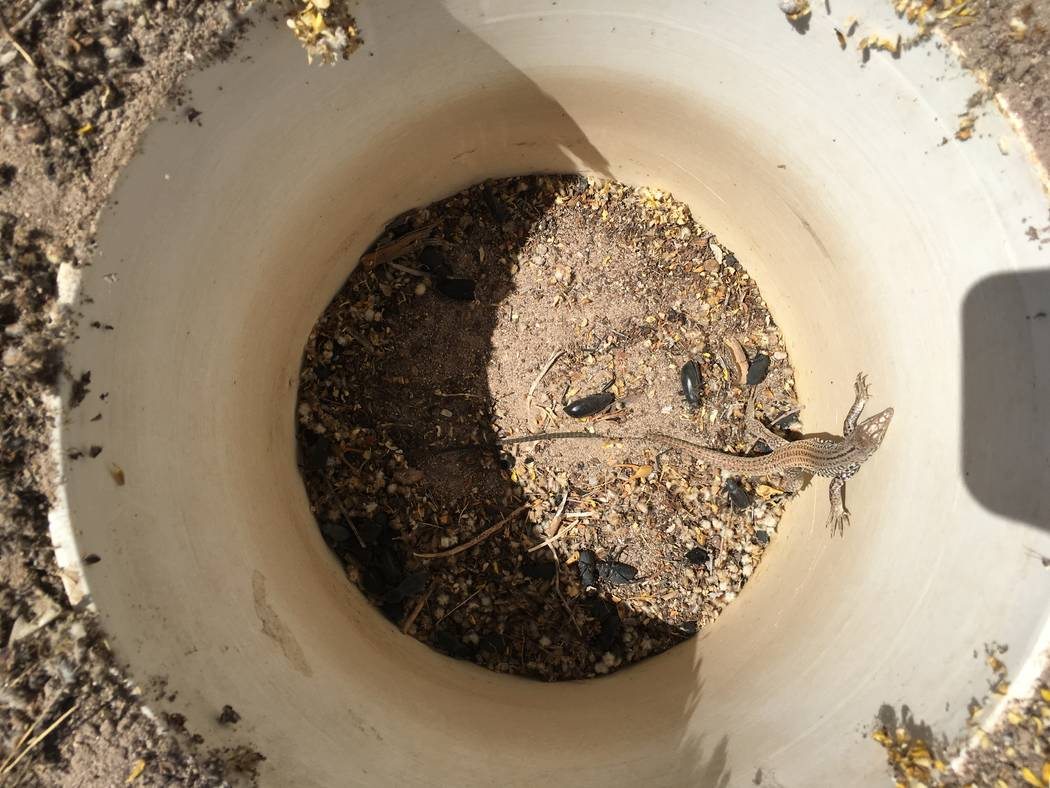 A whiptail lizard in a pitfall. Nevada Department of Wildlife officials  are considering banning or limiting commercial reptile collecting in the state. Nevada currently has unlimited commercial r ...