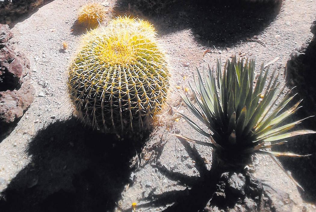 Barrel cactus in a Las Vegas yard (Courtesy photo)