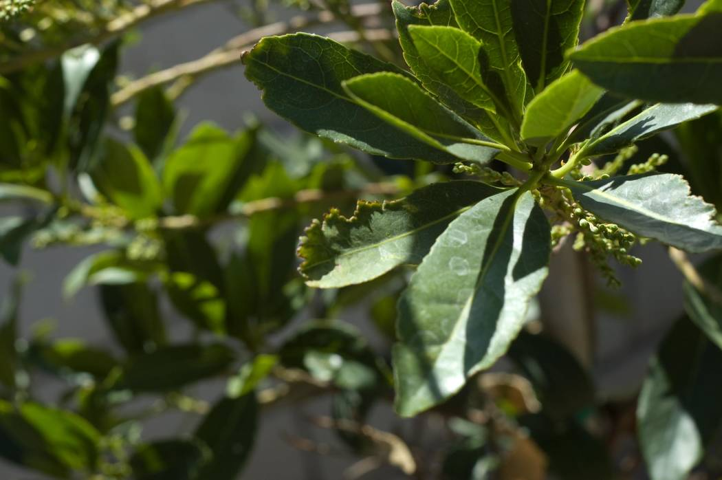 Bob Morris The leaves of this Japanese blueberry is showing signs or root weevil damage.