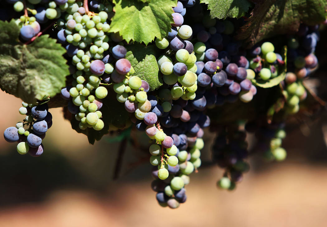 Sweet Malbec grapes hang from a vine at Chalk Hill Estate vineyards, owned by the Vegas Golden Knights owner Bill Foley, in Healdsburg, Calif., on Wednesday, Aug. 2, 2017. Bizuayehu Tesfaye Las Ve ...