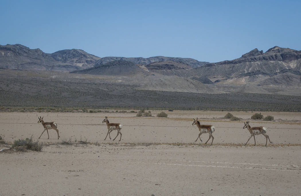 Pronghorn antelope run across a dry lakebed at the Nevada Test and Training Range on Sunday, May 21, 2017. Patrick Connolly Las Vegas Review-Journal @PConnPie