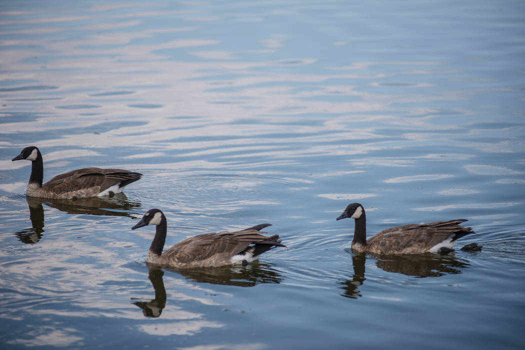 Geese spend some time cooling off at Cornerstone Park on Wednesday, Aug. 9, 2017, in Henderson. Morgan Lieberman Las Vegas Review-Journal