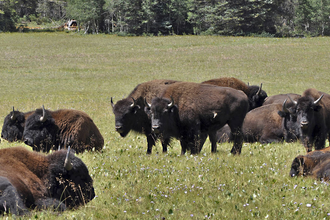 Bison in the Kaibab National Forest adjacent to the Grand Canyon in Northern Arizona group together Aug. 26, 2010. The National Park Service has a plan to thin the bison population around the Gran ...