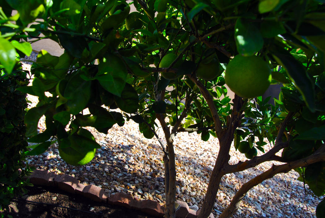 Bob Morris Meyer lemon is usually harvested in December.