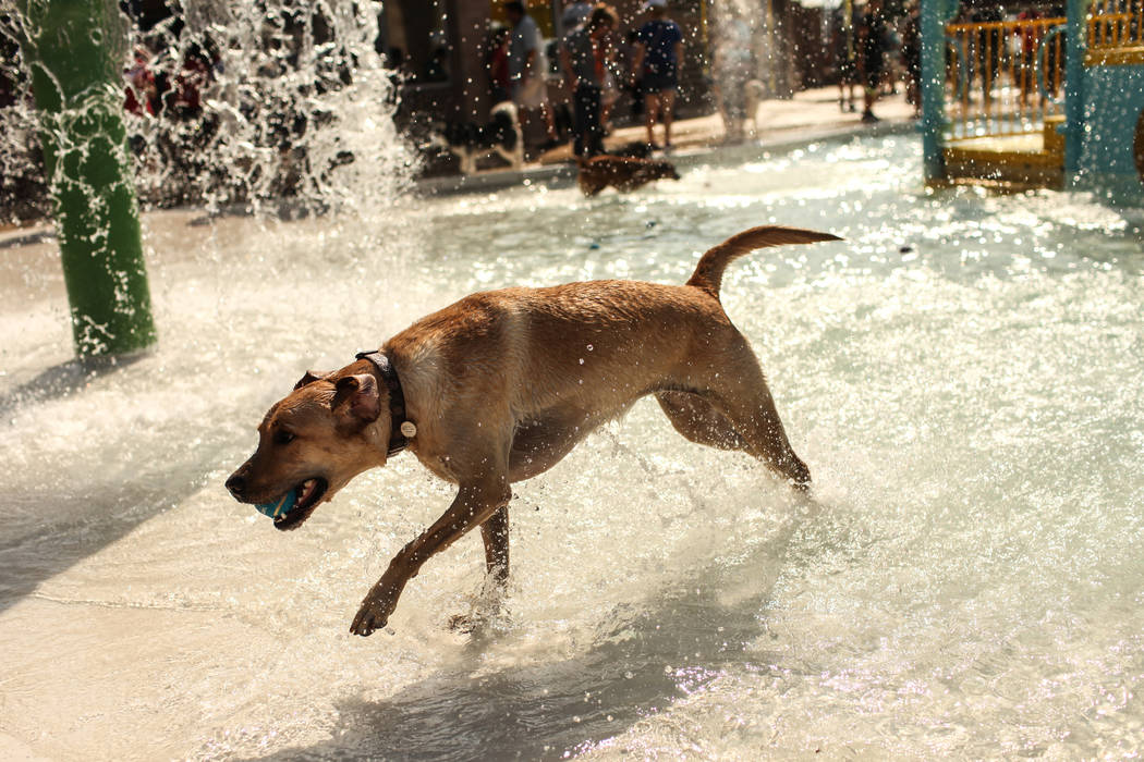 A dog runs through water during the Dog Daze of Summer event at the Desert Breeze Aquatics Facility in Las Vegas, Saturday, Sept. 16, 2017. Joel Angel Juarez Las Vegas Review-Journal @jajuarezphoto
