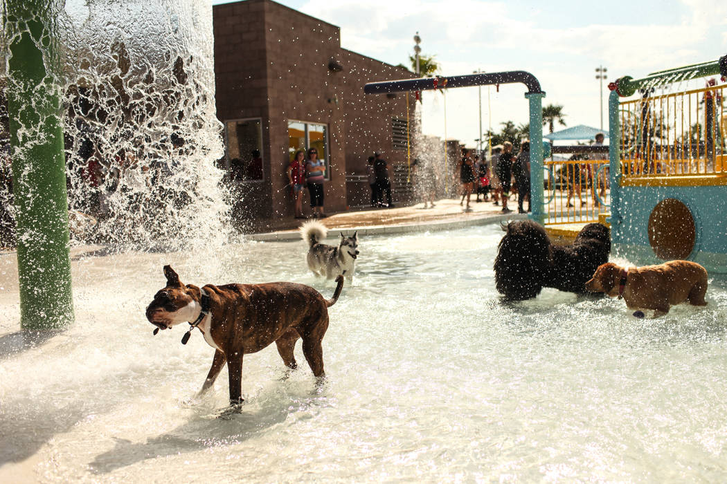 Dogs splash through water during the Dog Daze of Summer event at the Desert Breeze Aquatics Facility in Las Vegas, Saturday, Sept. 16, 2017. Joel Angel Juarez Las Vegas Review-Journal @jajuarezphoto