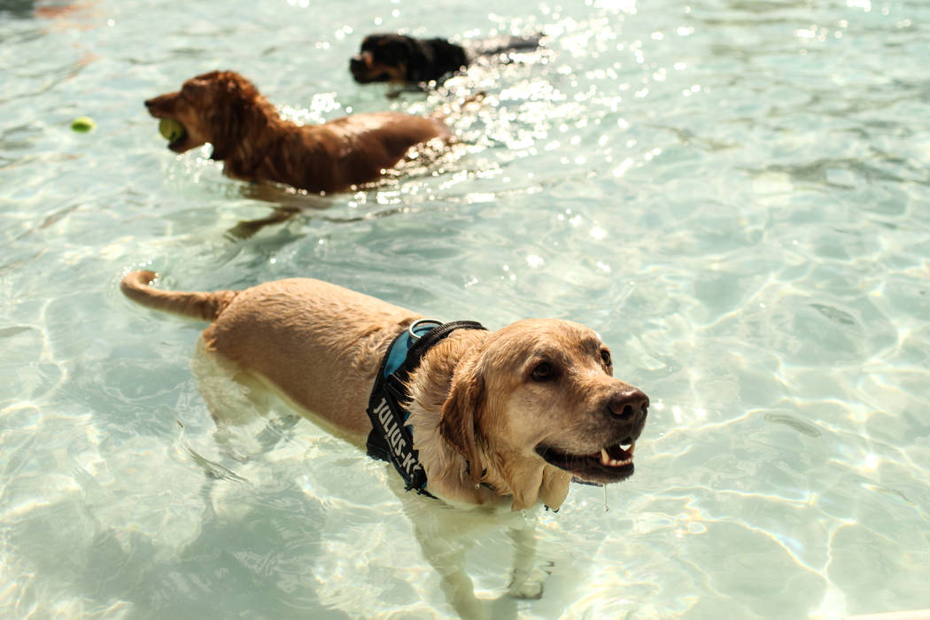 Dogs swim in water during the Dog Daze of Summer event at the Desert Breeze Aquatics Facility in Las Vegas, Saturday, Sept. 16, 2017. Joel Angel Juarez Las Vegas Review-Journal @jajuarezphoto