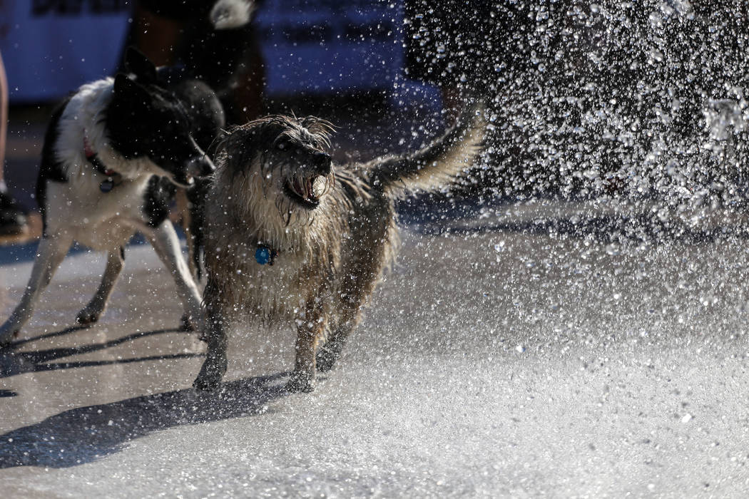 Dogs run through water during the Dog Daze of Summer event at the Desert Breeze Aquatics Facility in Las Vegas, Saturday, Sept. 16, 2017. Joel Angel Juarez Las Vegas Review-Journal @jajuarezphoto