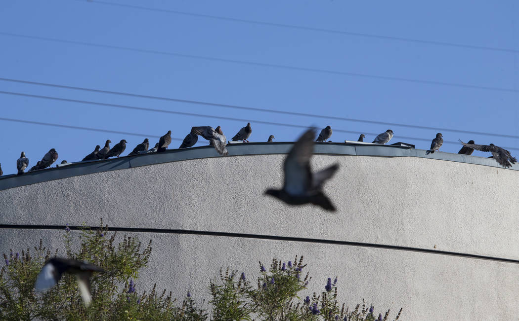 Pigeons on the roof of the West Flamingo Senior Center located at 6255 W. Flamingo Road on Friday, Sept. 15, 2017, in Las Vegas.  Richard Brian Las Vegas Review-Journal @vegasphotograph