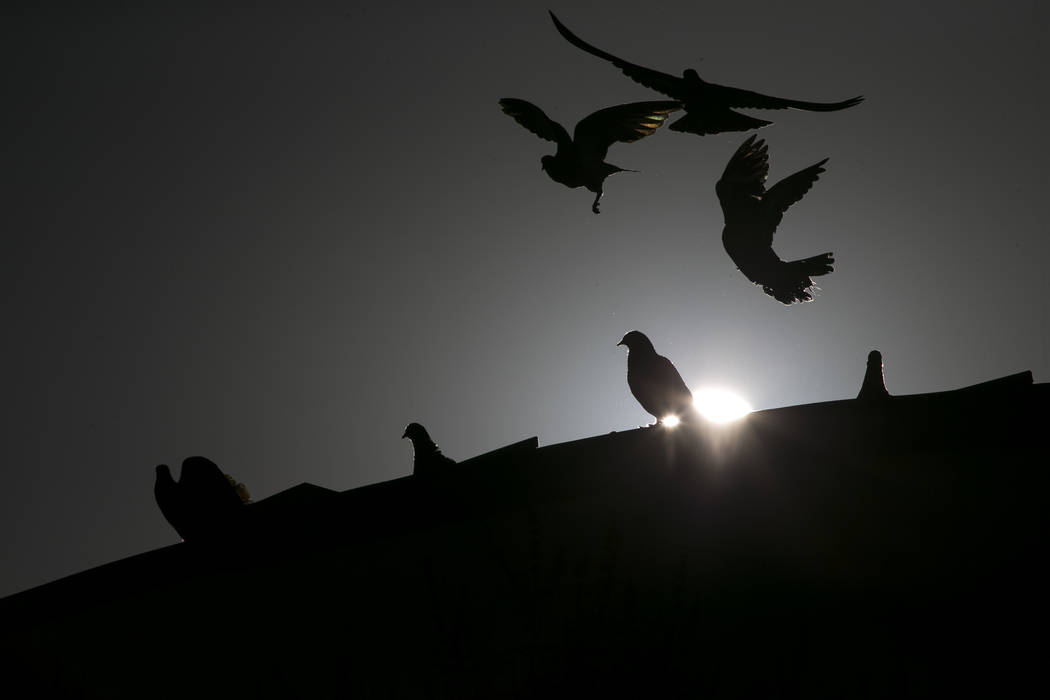 Pigeons land on the roof of the West Flamingo Senior Center located at 6255 W. Flamingo Road on Friday, Sept. 15, 2017, in Las Vegas.  Richard Brian Las Vegas Review-Journal @vegasphotograph