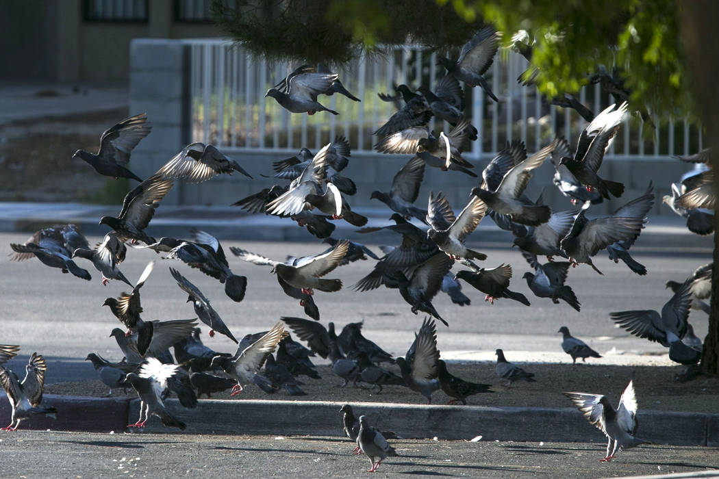 Pigeons fly outside the West Flamingo Senior Center located at 6255 W. Flamingo Road on Friday, Sept. 15, 2017, in Las Vegas.  Richard Brian Las Vegas Review-Journal @vegasphotograph