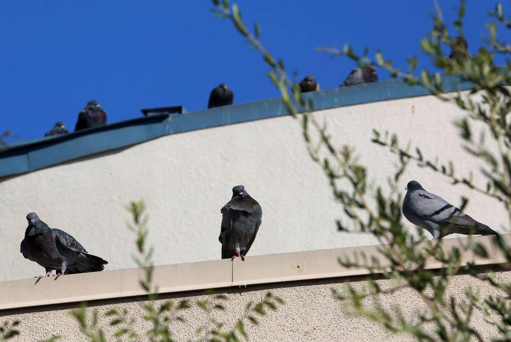 Pigeons sit on the roof of West Flamingo Senior Center at 6255 W. Flamingo Road, on Sept. 14, 2017, in Las Vegas.  Bizuayehu Tesfaye Las Vegas Review-Journal @bizutesfaye
