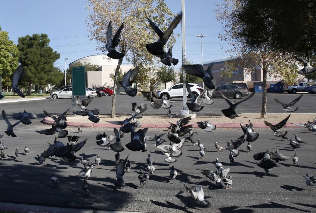 Flock of pigeons outside West Flamingo Senior Center at 6255 W. Flamingo Road, on Sept. 14, 2017, in Las Vegas.  Bizuayehu Tesfaye Las Vegas Review-Journal @bizutesfaye