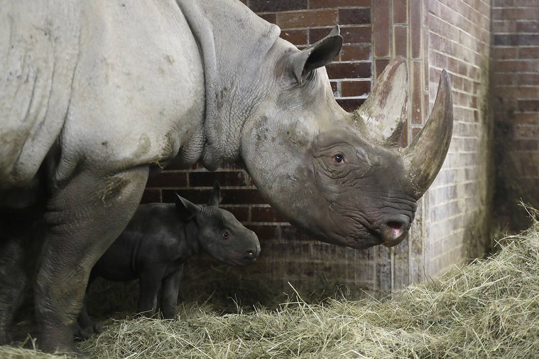 A newly born critically endangered eastern black rhino, with its mother Jola, walks in its enclosure at the zoo in Dvur Kralove, Czech Republic, Thursday, Oct. 27, 2016.  (AP Photo/Petr David Josek)