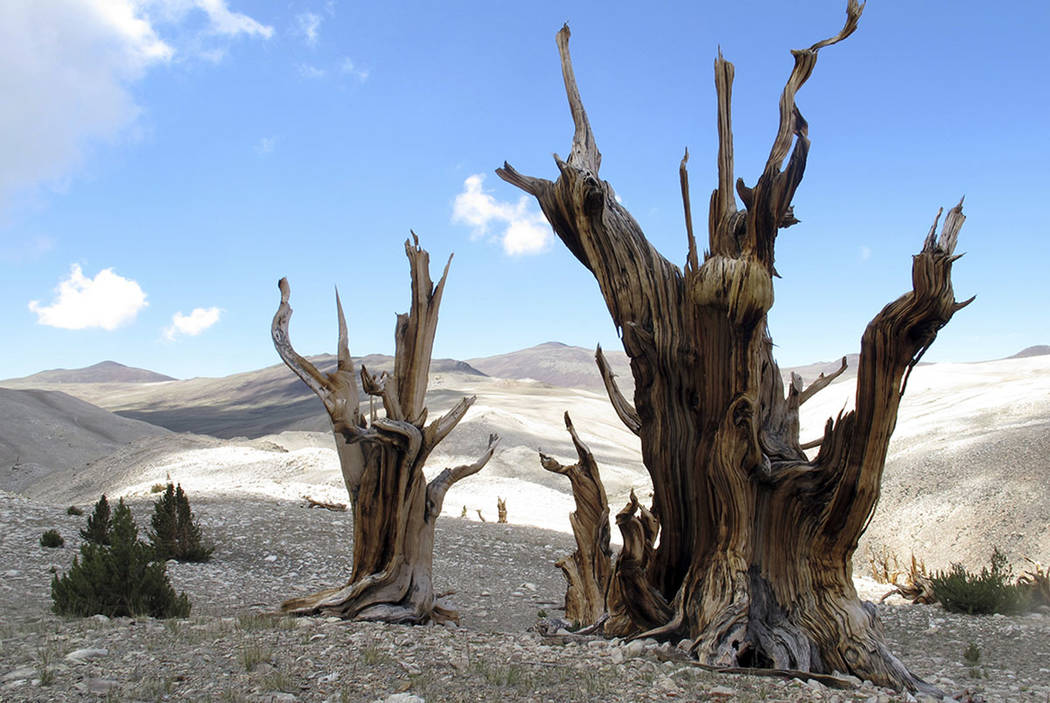 Gnarled, dead bristlecone pine trees are seen standing with young limber pines growing around them in the White Mountains in east of Bishop, Calif., in 2013. (Brian Smithers/University of Californ ...