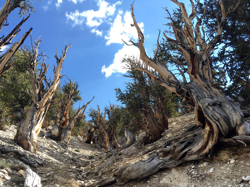 Gnarled, dead bristlecone pine trees is seen in the White Mountains in east of Bishop, Calif., in July. (AP Photo/Scott Smith)