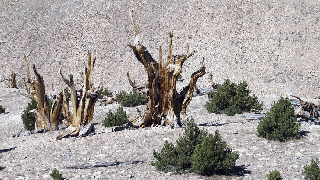 A gnarled, dead bristlecone pine trees standing with young limber pines growing around them in the White Mountains east of Bishop, Calif., in 2016. (Brian Smithers/University of California, Davis  ...