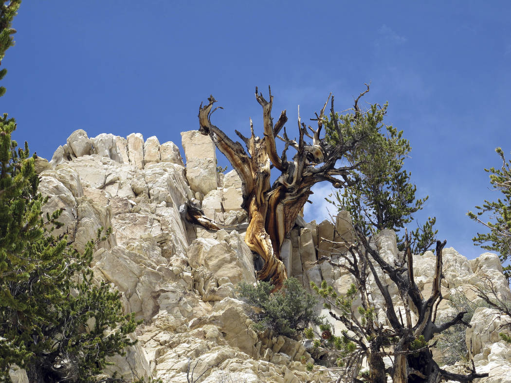 Gnarled, dead bristlecone pine trees are seen at Methuselah Grove in the White Mountains east of Bishop, Calif., in 2014. (Brian Smithers/University of California, Davis via AP)