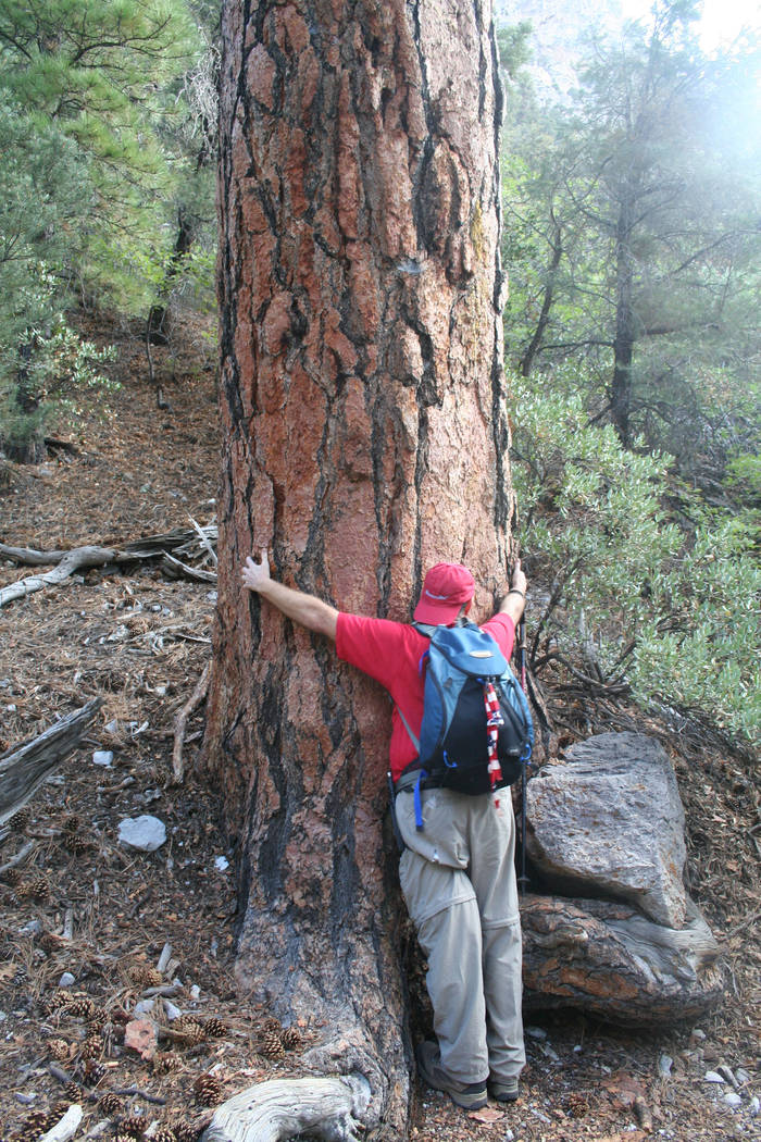 "A six foot tall ""tree hugger"" of a large ponderosa pine along the Fletcher Canyon trail. (Deborah Wall)"