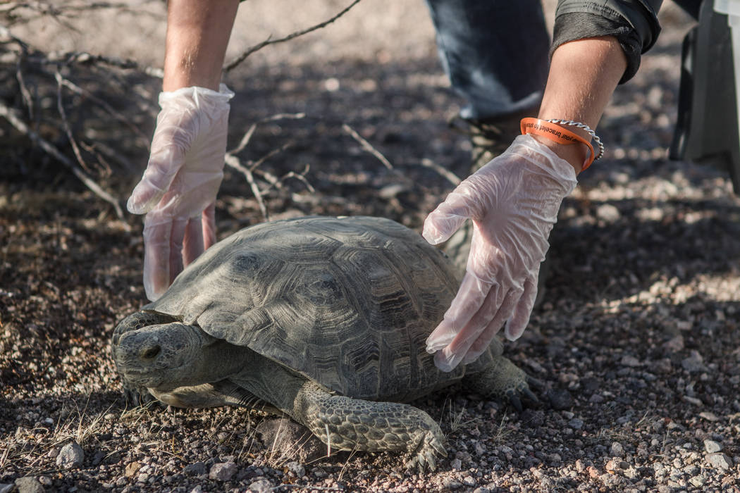 A tortoise in the process of being released into the desert on Friday, Sept. 22, 2017, in Boulder City. Morgan Lieberman Las Vegas Review-Journal