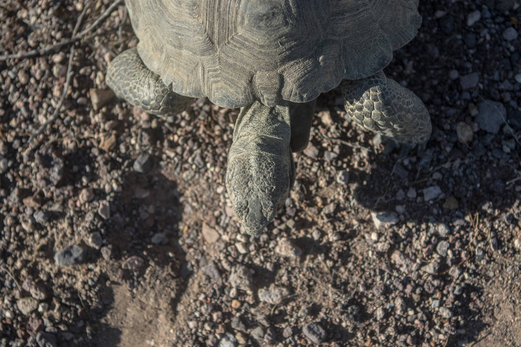 A tortoise just released into the desert on Friday, Sept. 22, 2017, in Boulder City. Morgan Lieberman Las Vegas Review-Journal