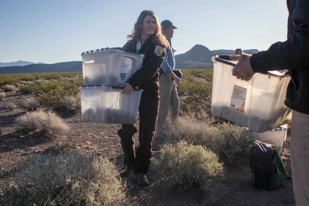 Kimberleigh Field carries two tortoise containers on Friday, Sept. 22, 2017, in Boulder City. Morgan Lieberman Las Vegas Review-Journal