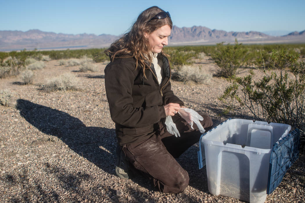Kimberleigh Field prepares to release a tortoise on Friday, Sept. 22, 2017, in Boulder City. Morgan Lieberman Las Vegas Review-Journal