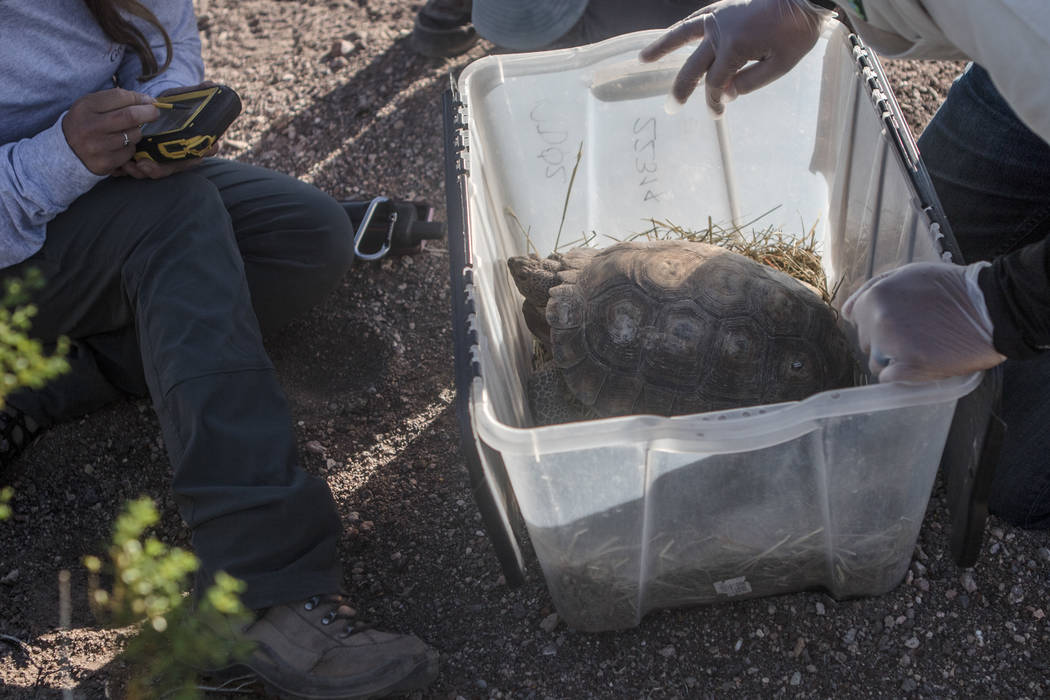 Members of the release team take down measurements and characteristics of the tortoise on Friday, Sept. 22, 2017, in Boulder City. Morgan Lieberman Las Vegas Review-Journal