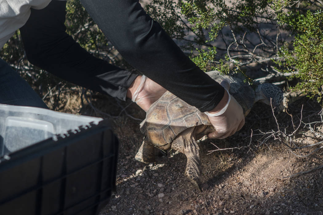 Brent Sparks releases a tortoise to a shrub in the desert on Friday, Sept. 22, 2017, in Boulder City. Morgan Lieberman Las Vegas Review-Journal