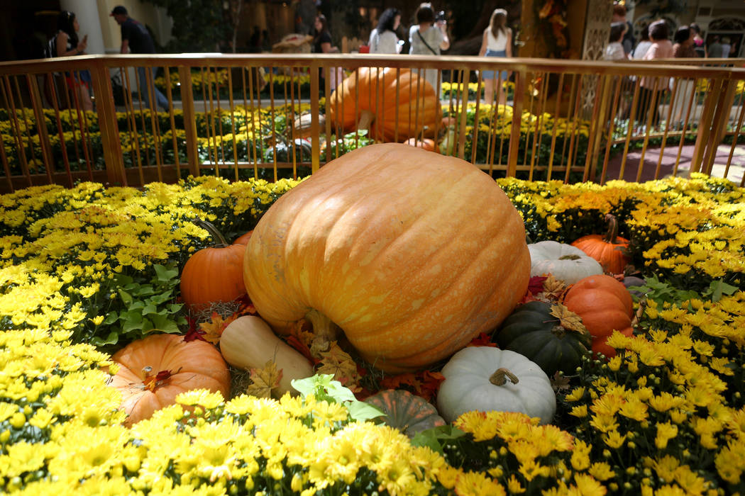Pumpkins over 1,000 pounds on display for the fall display at the Bellagio Conservatory & Botanical Gardens in Las Vegas, Tuesday, Sept. 19, 207. Elizabeth Brumley Las Vegas Review-Journal