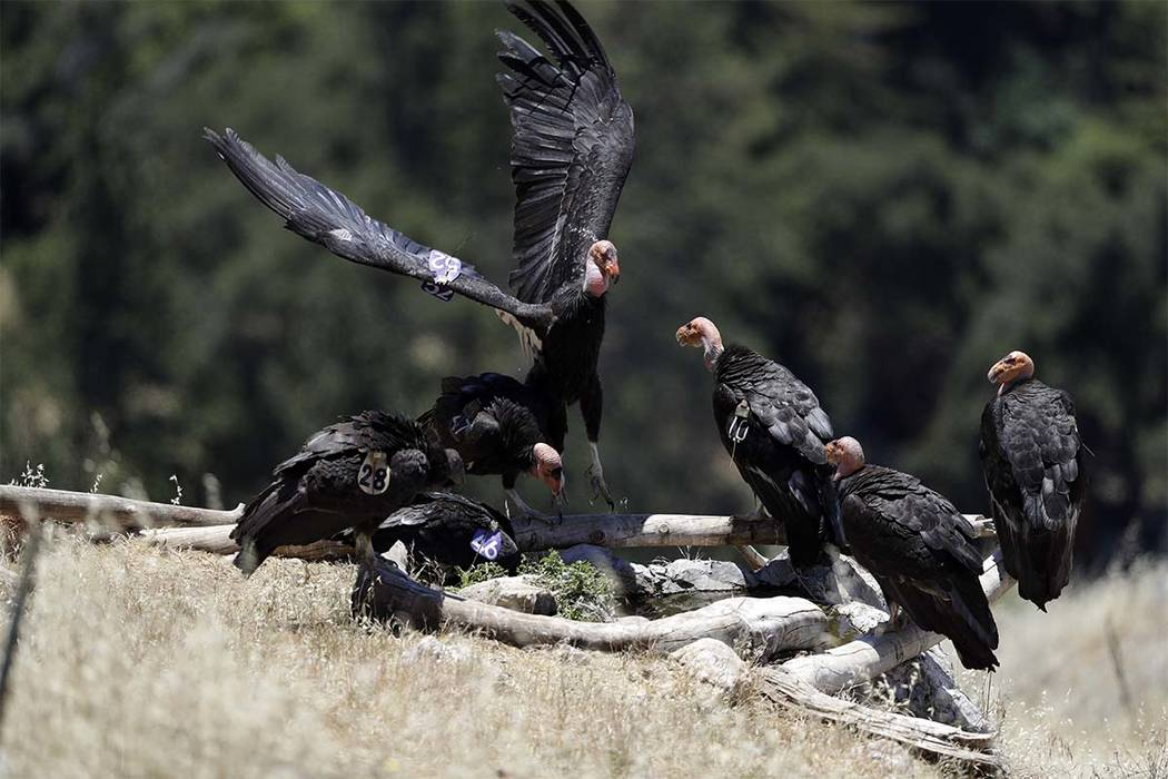 In this Wednesday, June 21, 2017 photo, California condors huddle around a watering hole in the Ventana Wilderness east of Big Sur, Calif. Three decades after being pushed to the brink of extincti ...