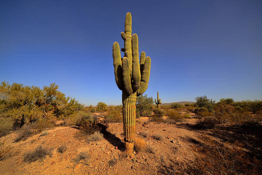A giant Saguaro cactus in the Kofa National Wildlife Refuge in Arizona. (Thinkstock)